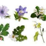 Fleurs de Bach : les elixirs qui vous veulent du bien !